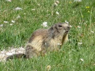 Marmotte à Névache